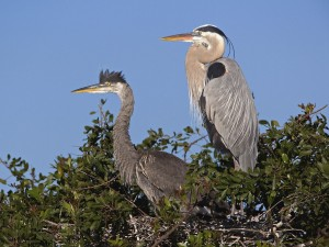 Great Blue Herons-Venice Florida Wallpaper
