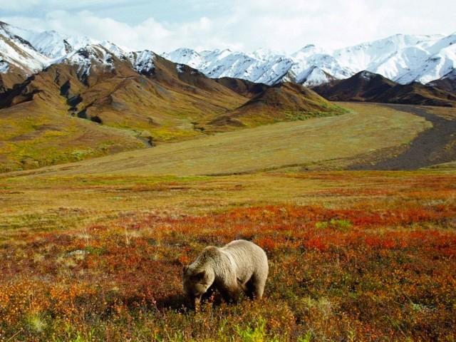 Grizzly Bear Foraging Alaska Wallpaper