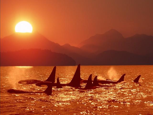 Killer Whales Ocean Sunset Wallpaper