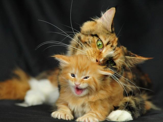 Maine Coon Kitten-Mom Wallpaper