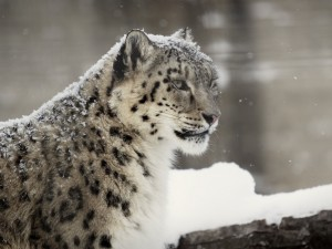 Rare Snow Leopard Wallpaper