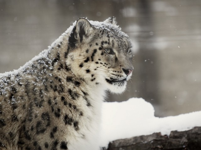 Rare Snow Leopard Wallpaper