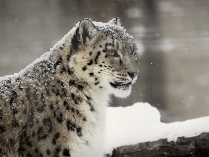 Rare Snow Leopard Wallpaper Free Big Cat Images