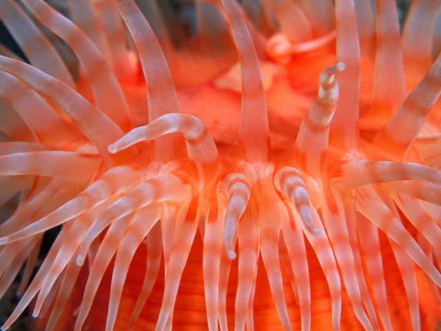 Sea Anemone Tentacles Wallpaper