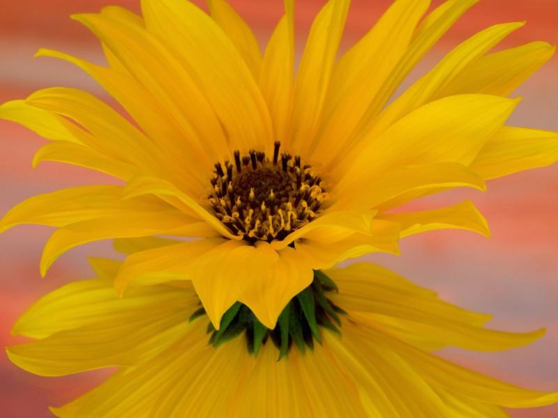 Single Sunflower Wallpaper
