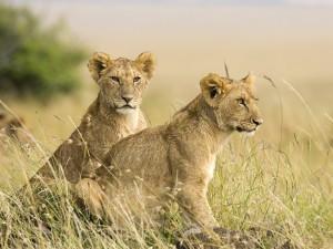 African Lion Cubs Wallpaper