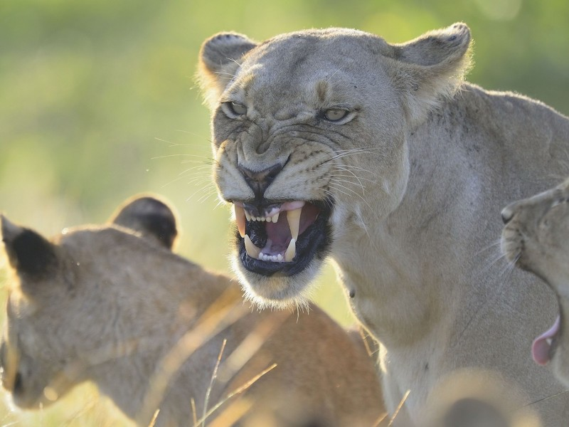 Angry Lioness Wallpaper