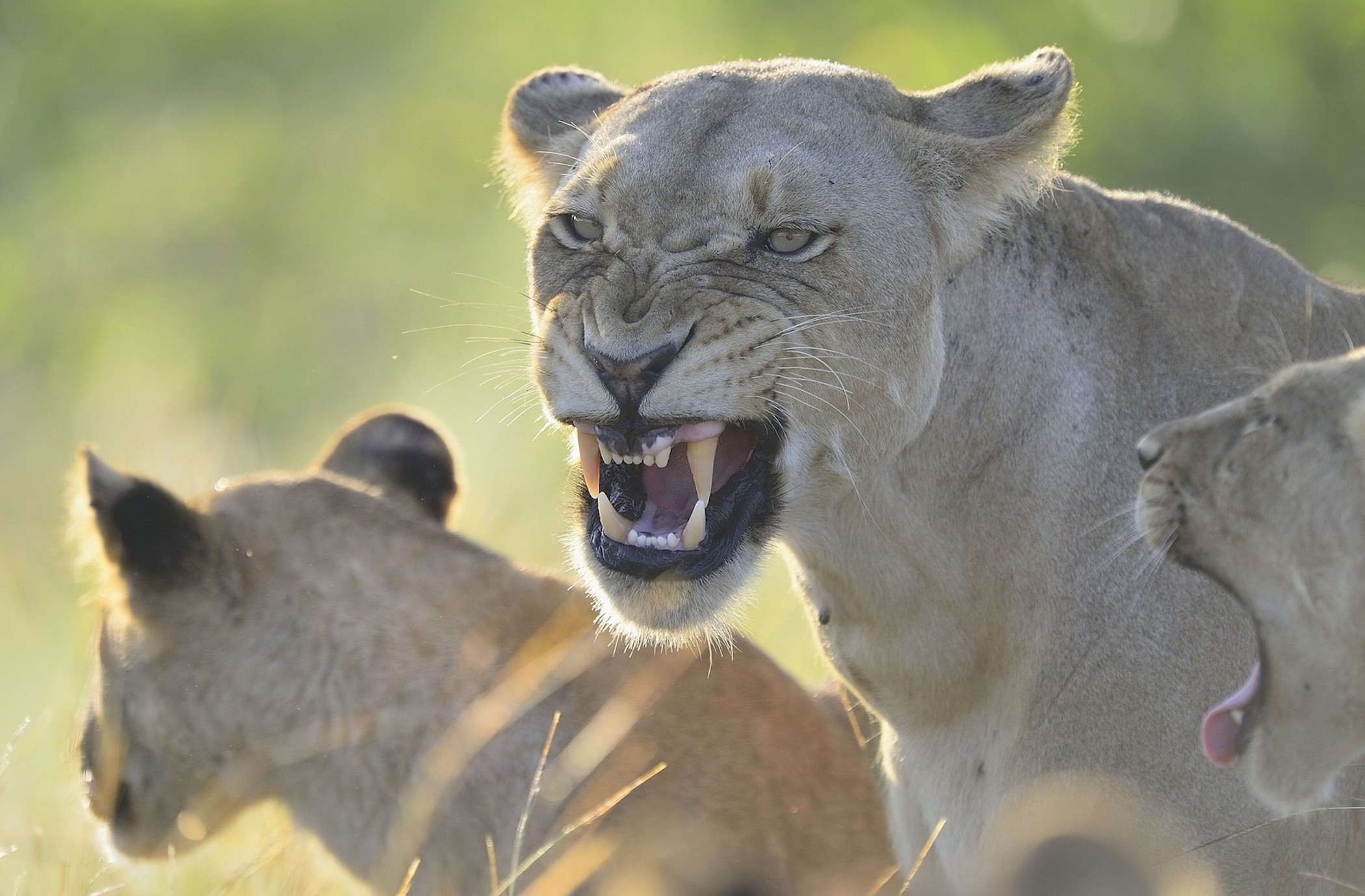 Angry Lioness Wallpaper - Free Lioness HD Downloads