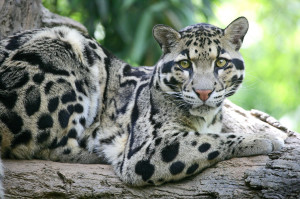 Clouded Leopard, Nashville Zoo At Grassmere, Nashville, Tennesse