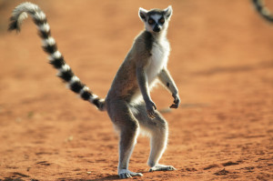 Ringed Tailed Lemur / Maki Catta / Lemur Catta