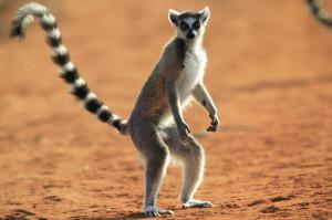 Ringed Tailed Lemur / Maki Catta / Lemur Catta