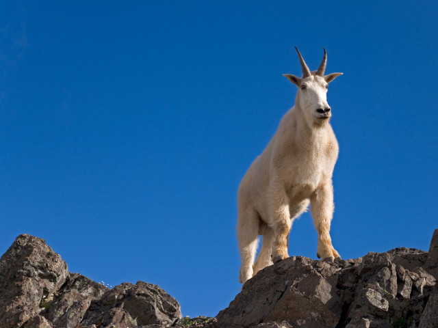Mountain Goat, Klahhane Ridge, Olympic National Park