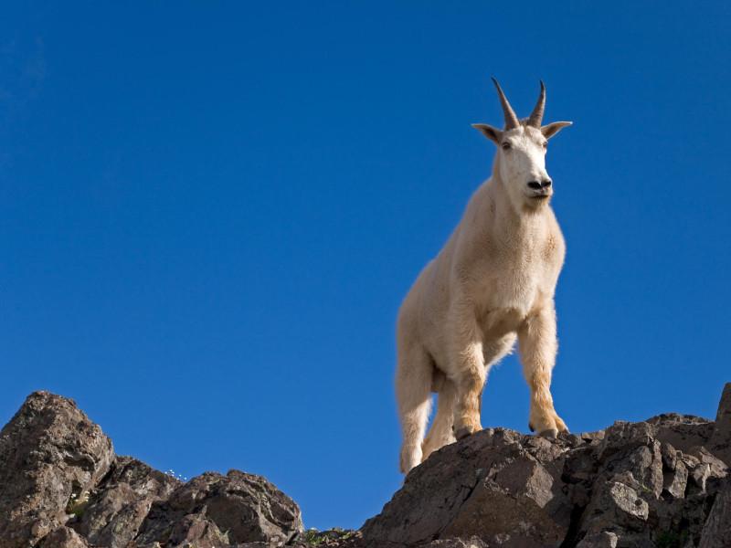 Mountain Goat, Klahhane Ridge, Olympic National Park