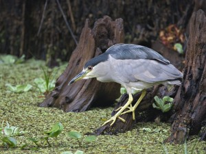 Black Crowned Night Heron Fishing, Corkscrew Swamp Sanctuary, Florida