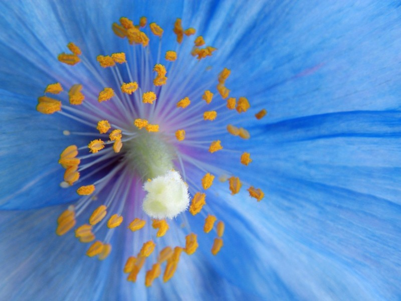 Blue Poppy Wallpaper