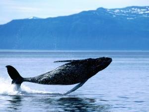 Breaching Humpback Whale Wallpaper