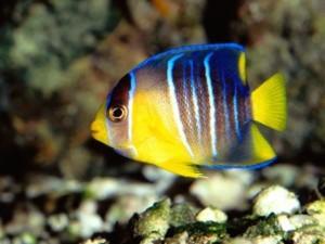 Caribbean Blue Angelfish Mexican Gulf HD Wallpaper