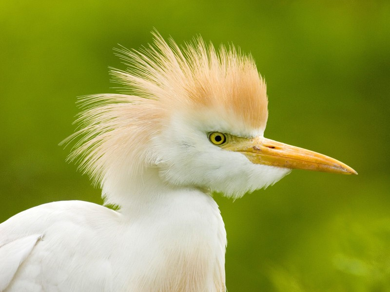 Cattle Egret, Florida