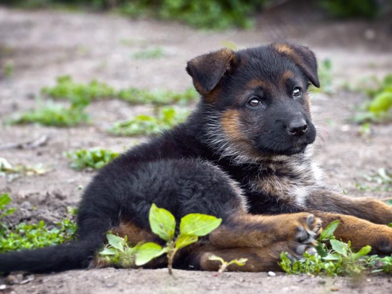 Cute German Shepherd Wallpaper