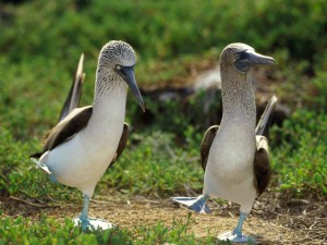 Dancing Blue Footed Boobies