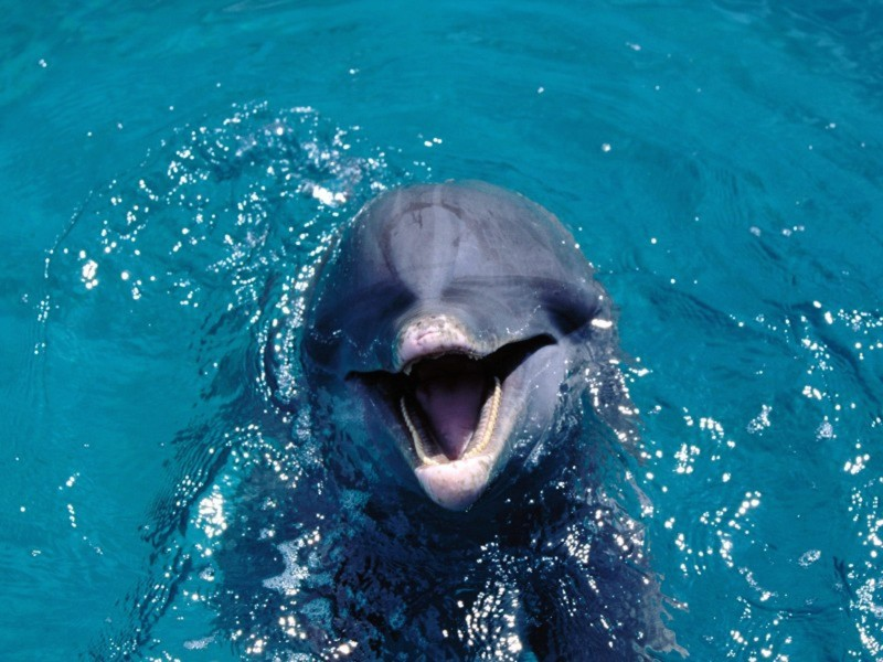 Dolphin Talking Wallpaper