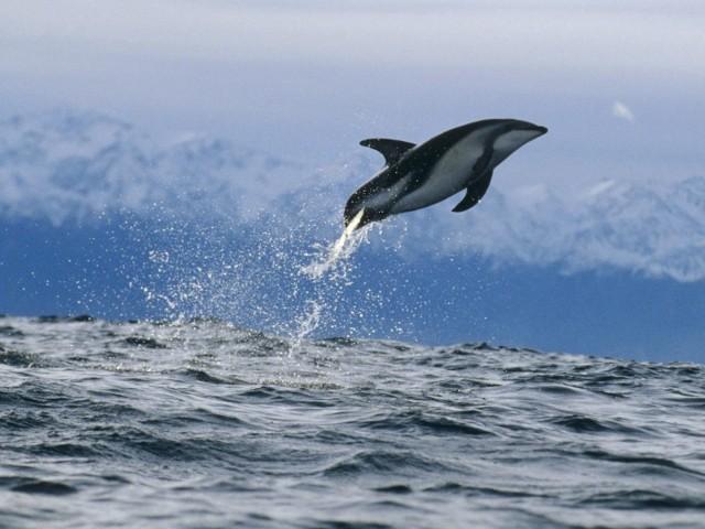 Dusky Dolphin New Zealand Wallpaper