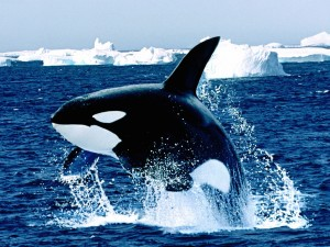 Emerging Killer Whale Wallpaper