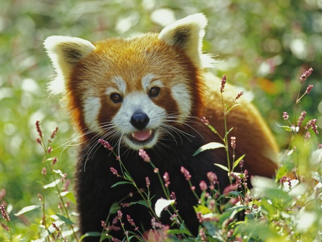 Firefox, Red Panda