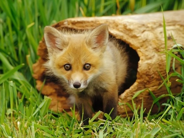 Fox Pup Wallpaper