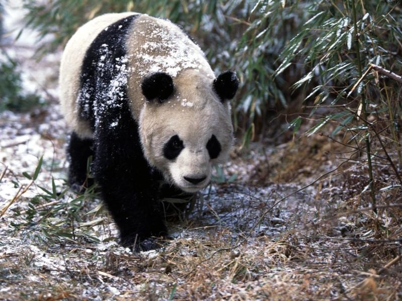 Giant Panda In Winter