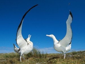 Gibson's Wandering Albatross, New Zealand