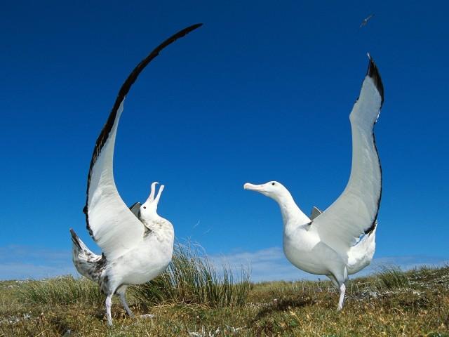 Gibson's Wandering Albatross, New Zealand