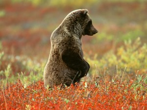 Grizzly Bear, Denali National Park, Alaska