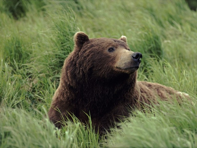 Grizzly Bear, Near Mcneil River, Alaska