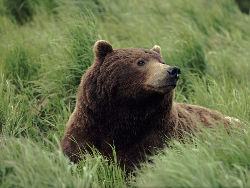 Grizzly Bear, Near Mcneil River, Alaska