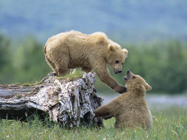 Grizzly Siblings At Play, Katmai National Park And Preserve, Alaska