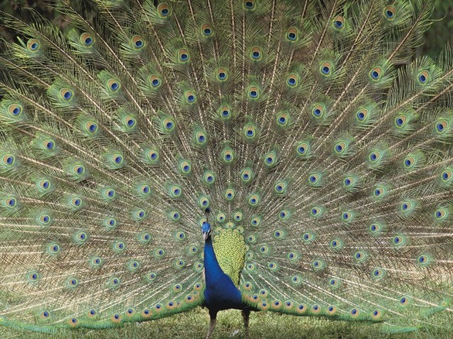 Indian Peafowl, Children's Zoo, Saitama, Japan
