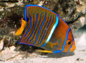 Juvenile King Angelfish Wallpaper