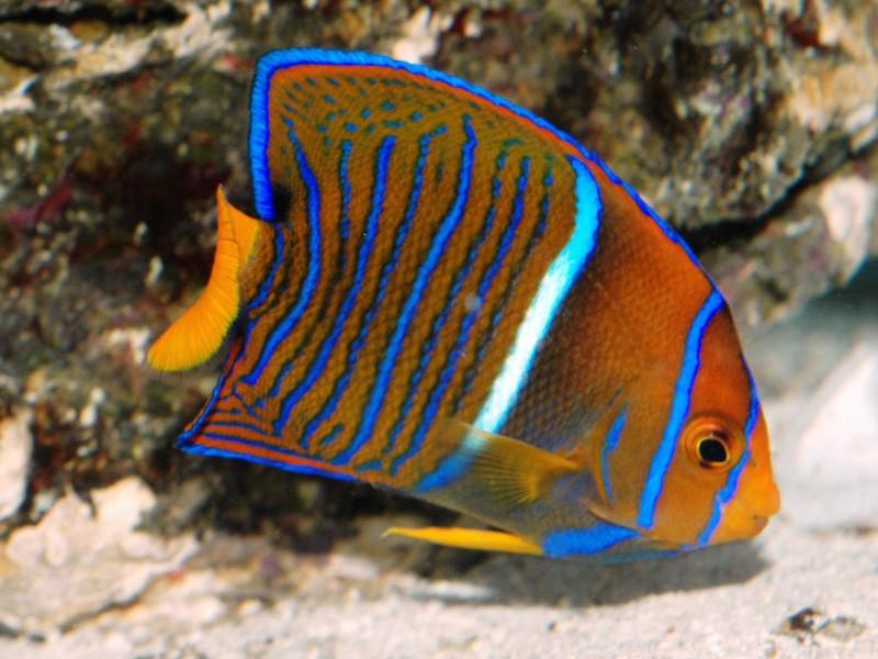 Juvenile King Angelfish Wallpaper