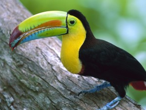Kell Billed Toucan, Barro Colorado Island, Panama