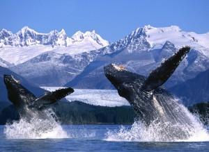 Killer Whales Wallpaper