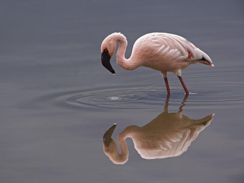 Lesser Flamingo, Lake Nakuru National Park, Kenya