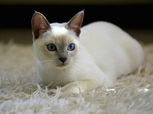 Lilac Point Siamese Kitten Wallpaper