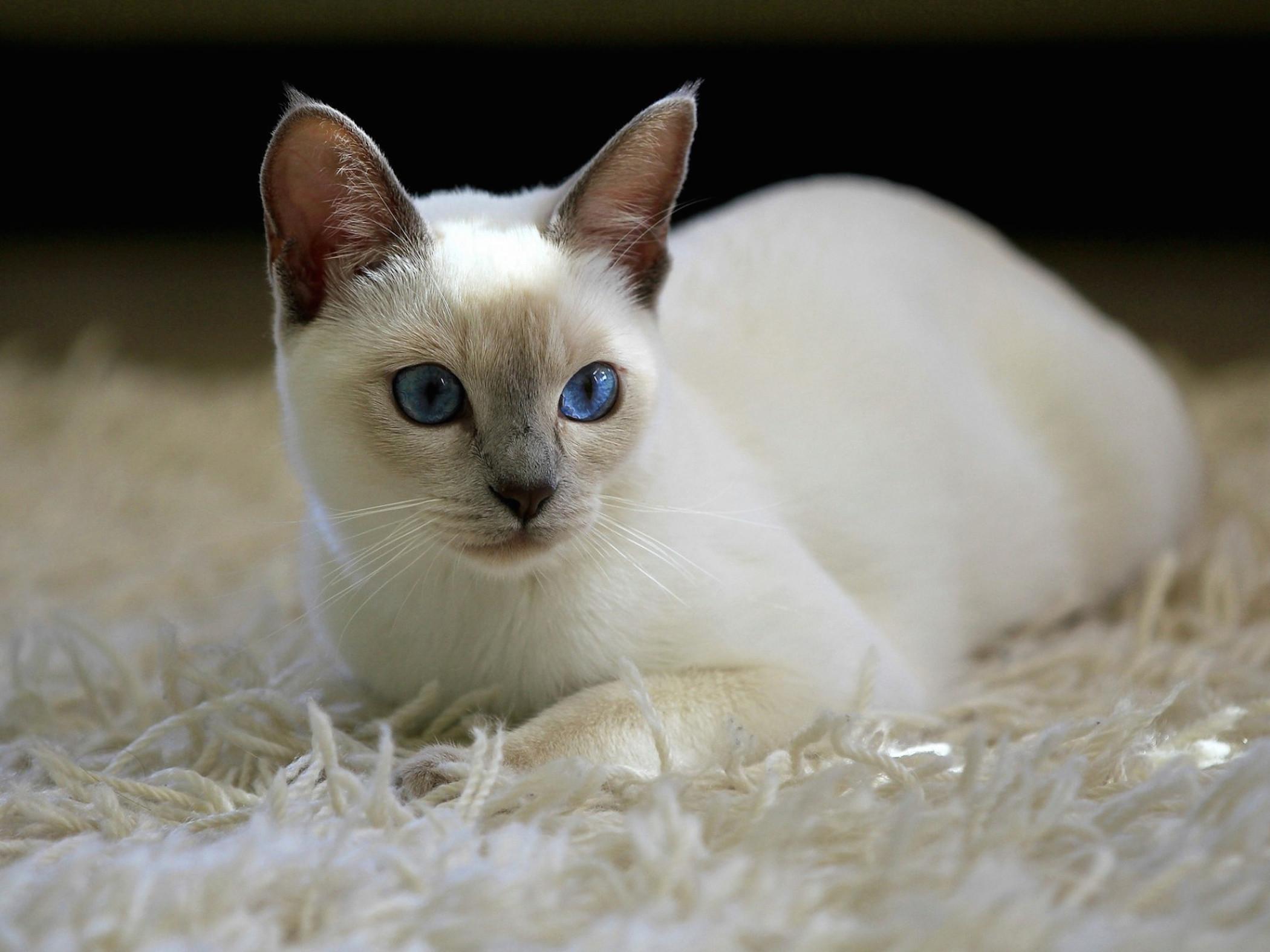 Lilac Point Siamese Kitten Wallpaper Free Kitten Download