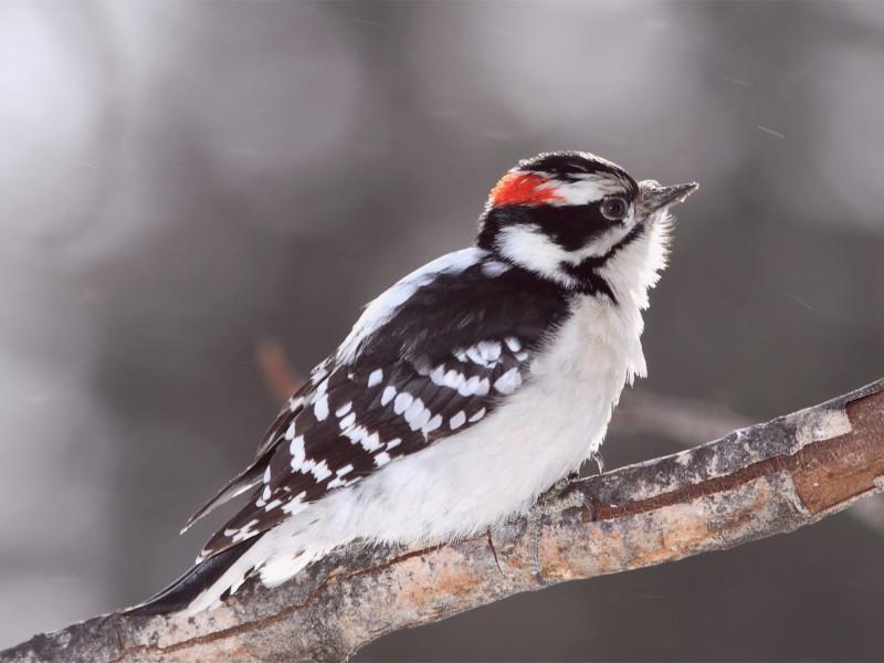 Male Downy Woodpecker Wallpaper
