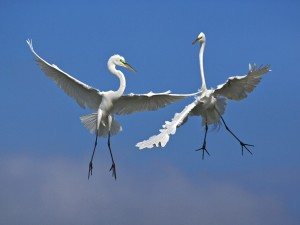Male Great Egrets Fighting In Flight, Venice, Florida