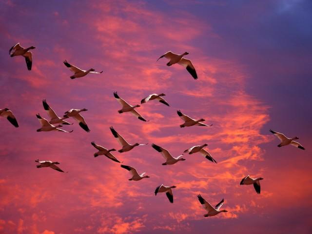 Migrating Snow Geese, Skagit Flats, Washington