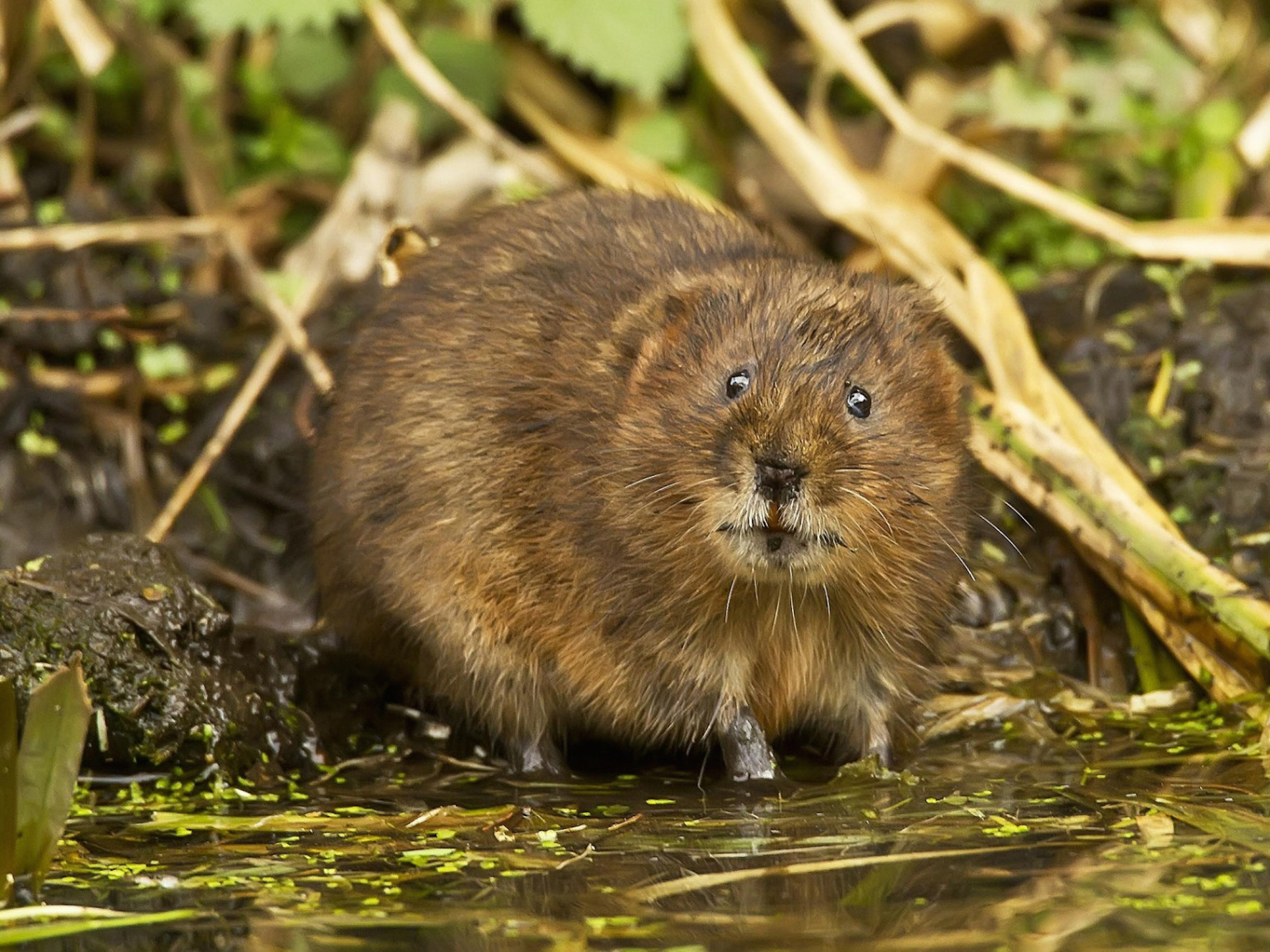 Muskrat Animal Wallpaper Hd Backgrounds Cool Wallpapers