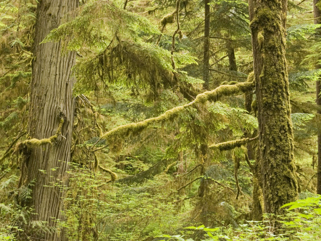 Old Growth Rainforest In Pacific Rim National Park, Vancouver Island, British Columbia, Canada