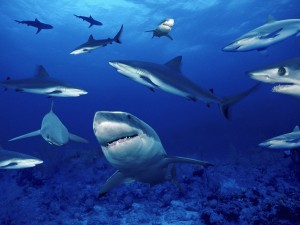 Ocean Sharks Swimming Wallpaper